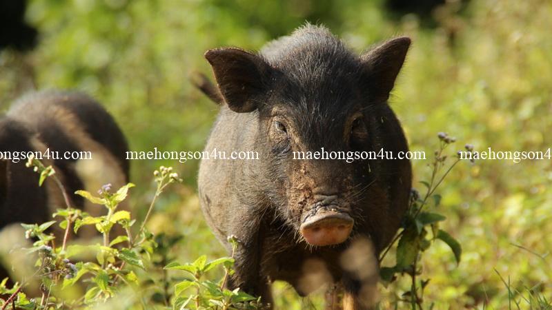 trekking with por dee meet piggy