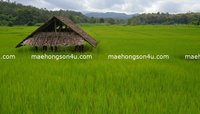 rice field in the valley
