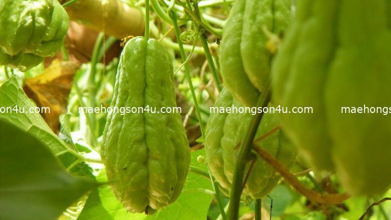 sansalit bitter cucumber